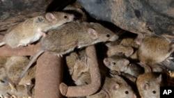 Mice scurry around stored grain on a farm near Tottenham, Australia on May 19, 2021. (AP Photo/Rick Rycroft)