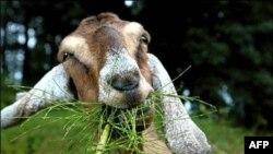 Экологические козы в действии