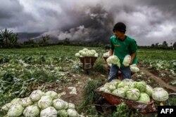 Seorang petani Indonesia memanen kubisnya selama letusan gunung berapi Gunung Sinabung di Karo di Sumatera Utara. (Foto: AFP)