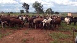 Doença ministeriosa mata gado no Namibe - 3:16