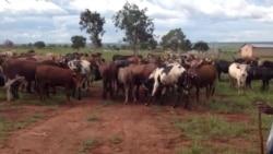 Produtores de gado criticamplano para o Kwanza Norte - 2:25