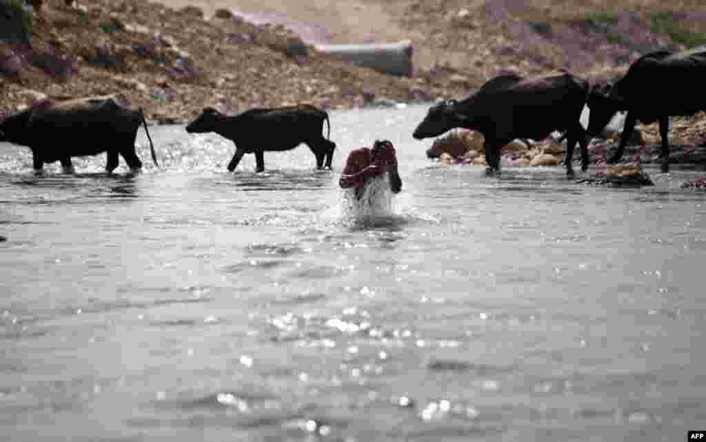 Індійська священна річка Таві служить і водопоєм для тварин, і місцем вмивання індусів. АР