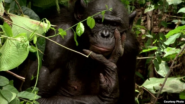"The endangered bonobo is the only primate, other than humans, which engages in sex for reasons other than procreation.(Courtesy ""The Bonobo Connection"")"