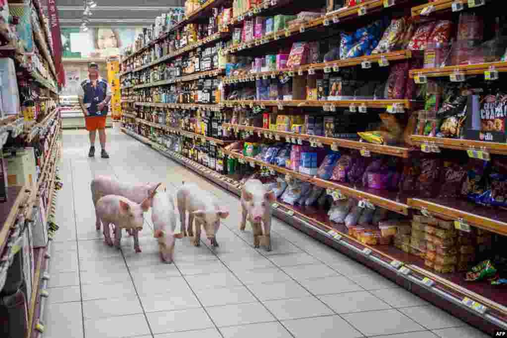 Anak babi berjalan di lorong supermarket Casino di Sarlat, Perancis barat daya, setelah para petani melepaskannya sebagai bentuk demo di supermarket tersebut.