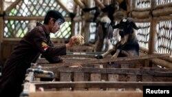 Seorang pekerja menggunakan pelindung wajah sedang memberi makan kambing di peternakan Mahir Farm menjelang Idul Adha di tengah pandemi virus corona (Covid-19), di Bogor, Jawa Barat, 28 Juli 2020. (Foto: Reuters)