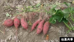 The sweet potato, native to South America was around in Polynesia 1,000 years ago. (Credit: Miya)