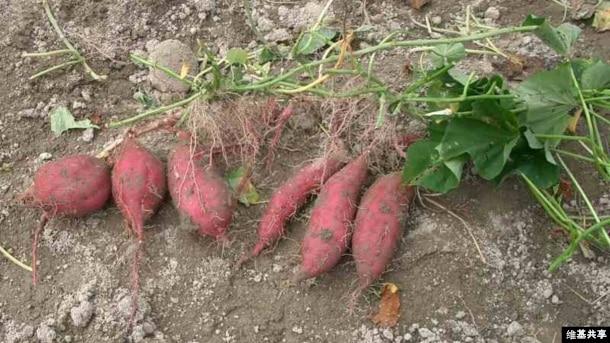 The sweet potato, native to South America was around in Polynesia 1,000 years ago. (Credit: Miya)