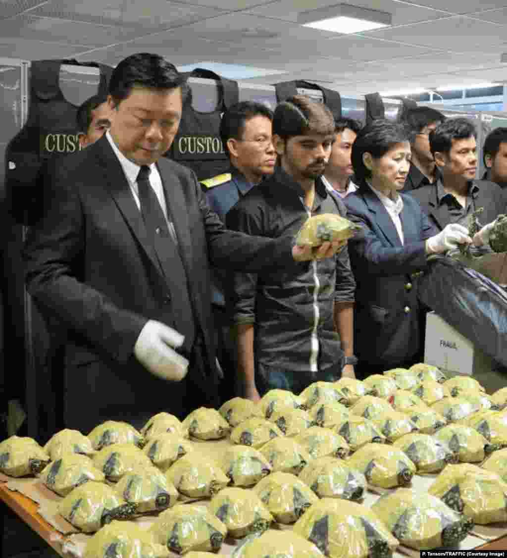 هنگام بازرسی چمدانهای این مرد پاکستانی (وسط) در فرودگاه بانکوک، یک محموله با ۴۷۰ لاکپشت سیاه مرداب کشف شد – تایلند