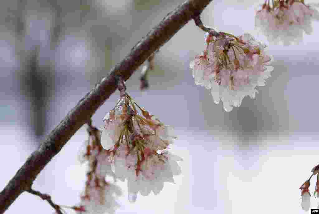 Ice-covered cherry blossoms are seen near the Potomac River in Washington, D.C. Winter Storm Stella dumped snow and sleet across the northeastern United States where thousands of flights were canceled and schools closed, but appeared less severe than initially forecast.