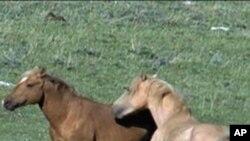 اسپهای وحشی در غرب امریکا