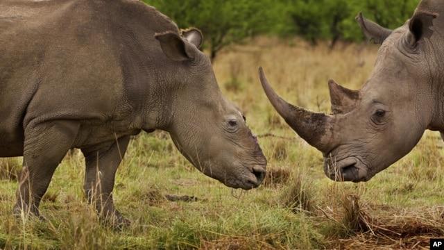 Con tê giác (trái) 4 tháng trước đây đã bị các tay săn trộm cưa chiếc sừng