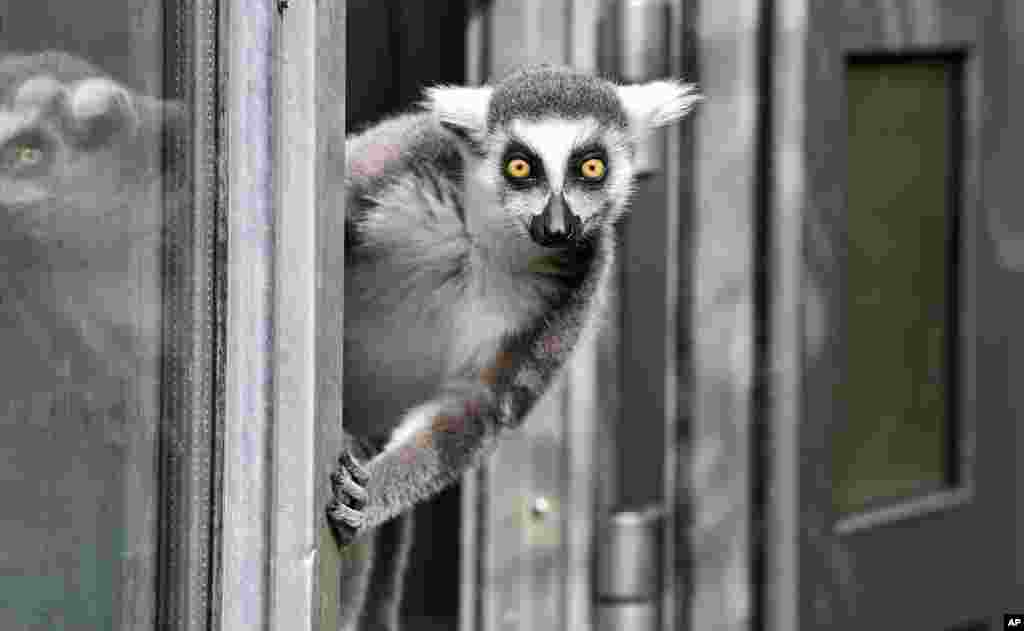 A ring-tailed lemur watches out of a door on a cold but sunny day at the zoo in Duisburg, Germany.