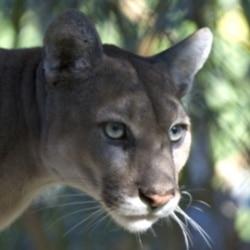 A Florida panther