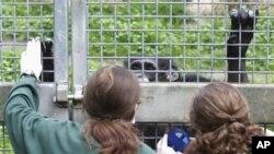 Menurut Dr. Natalie Cooper dari Universitas Trinity di Dublin, Mempelajari penyakit primata memberi kita sebuah model dari jenis penyakit yang kemungkinan menular pada manusia (foto: dok).