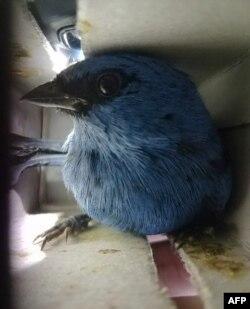 Dalam foto yang dirilis oleh Dinas Kehutanan dan Margasatwa Nasional (SERFOR) pada 15 Januari 2020 tampak burung-burung yang diselamatkan dari koper seorang warga Belgia yang dalam penerbangan menuju Madrid, Spanyol, di Bandara Internasional Lima, Peru.