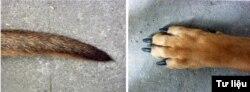 Trái: Túm lông đen ở cuối đuôi. Phải: Móng chân đậm mầu.