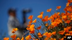A photographer passes behind wildflowers in bloom Monday, March 18, 2019, in Lake Elsinore, Calif. (AP Photo/Gregory Bull)
