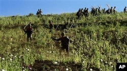 Soldiers and civilians use sticks to cut the opium poppies in a jungle field in Shan State, northeast of Burma. December 2009.