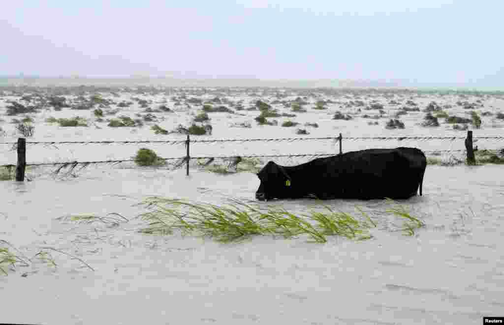 Корова пытается удержать голову над водой во время наводнения, вызванного ураганом «Харви», 26 августа 2017, Фултон, штат Техас (REUTERS / Rick Wilking / File Photo)