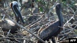 Dầu bám trên bộ lông của các con bồ nông trong Vịnh Barataria, bang Louisiana sau vụ nổ giàn khoan và tràn dầu hồi tháng 4