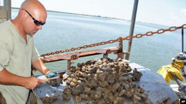 Oyster fisherman Tracy Collins shucks an oyster on Caminada Bay in Louisiana.
