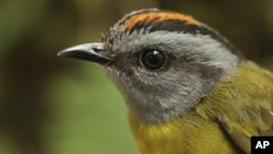 A russet-crowned warbler in the Cerro de Pantiacolla mountain in Peru.
