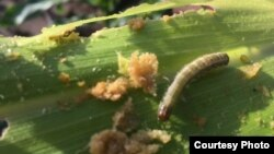 An armyworm attacks maize crops in a province in Zambia. (Courtesy - Derrick Sinjela in Zambia)