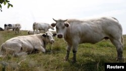FILE - Cows graze in a field in Vlezenbeek near Brussels, Belgium, Aug. 7, 2015. Veterinary authorities in Western countries routinely cull cattle infected with bovine tuberculosis whereas simalr protocols are less prevalent in developing countries.