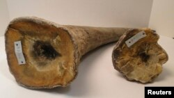 FILE - Rhino horns are pictured in this undated handout photo courtesy of the U.S. attorney's office, District of New Jersey.