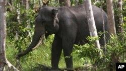 Gajah Sumatra di Perawang, Riau. (Foto: Dok)