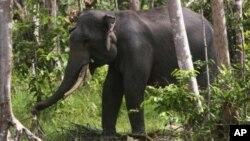 Seekor gajah Sumatra terlihat di Perawang, provinsi Riau pada 12 Januari 2012. (Foto: Dok)