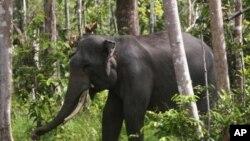 Seekor gajah Sumatra terlihat di Riau, 2012. (Foto: Dok)