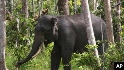 Gajah Sumatera di Perawang, Riau.