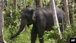 Seekor gajah Sumatra di Perawang, Riau.