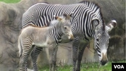 A diferencia de sus parientes más cercanos, los caballos y los asnos, las cebras nunca han sido realmente domesticadas.