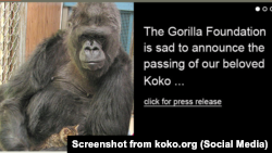 Koko the gorilla, know for her ability to use sign language and her love of pet cats, has died at 46.