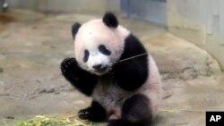 Anak panda raksasa betina Xiang Xiang memakan bambu di kebun binatang Ueno di Tokyo, Senin, 18 Desember 2017. (Foto: AP)