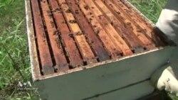 Популяция пчел в мире продолжает сокращаться