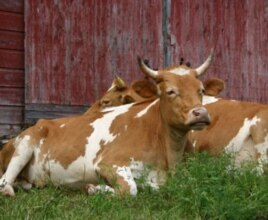 Lou and Bill, GMC's resident oxen team, made their debut on the farm in 2002. (Courtesy Green Mountain College)