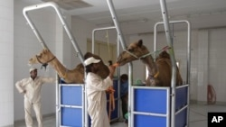 Scientists find clue suggesting camels may be involved in infecting people the deadly MERS virus, Camelicious milk farm in Dubai, United Arab Emirates, July 3, 2013.