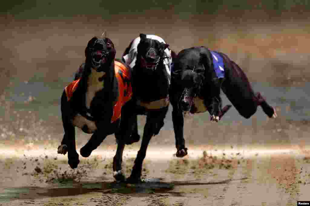 Greyhounds compete during a race at Wimbledon Stadium in London, March 18, 2017.