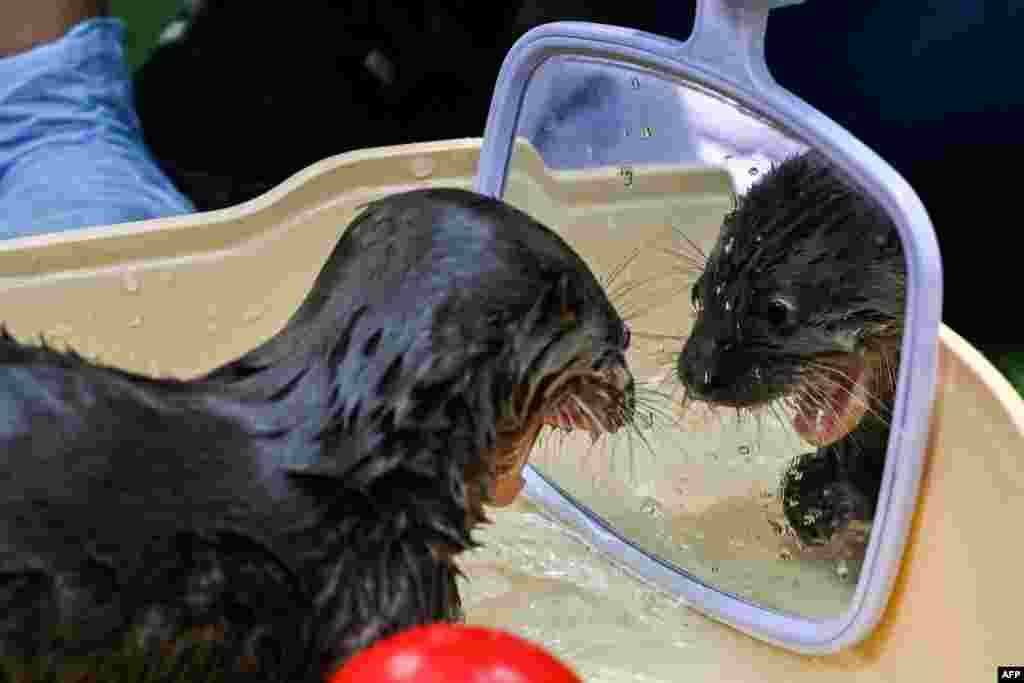 A river otter of 6-weeks-old looks in the mirror during a bath in the Animal Welfare Unit of the Zoo in Cali, Colombia, Oct. 22, 2019.