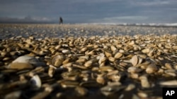 Shellfish cover the beach in Cucao, on Chiloe Island, Chile, May 9, 2016. The government has declared an emergency zone along Chile's south as it deals with the algae known as red tide.
