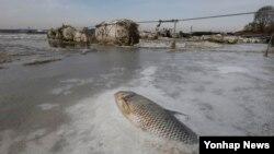 21일 경기도 고양시 인근 한강에서 물고기가 동사해 강물과 함께 얼어 있다.