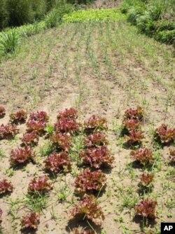Un champ de laitue en Afrique du Sud