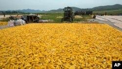 북한 개성의 한 협동농장에서 수확한 옥수수. (자료 사진)