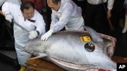 Koki di sebuah restoran sushi di Tokyo memotong ikan tuna seberat 269 kilogram yang ditangkap di utara Jepang. (Foto: Dok)