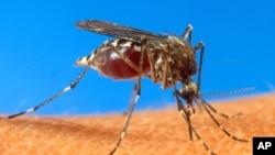 Nyamuk aedes aegypti, salah satu penyebar penyakit demam berdarah (Foto: dok).