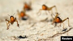 Plaga de langostas en la región de Menabe, en Madagascar. Las plagas y los insectos se acercan hacia los polos a medida que el mundo se calienta.