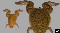 X. tropicalis (left) and X. laevis (right)